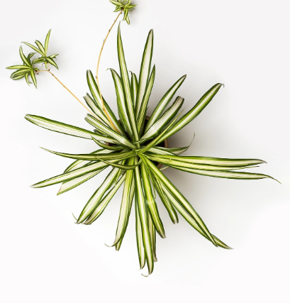 spider plant by greendigs