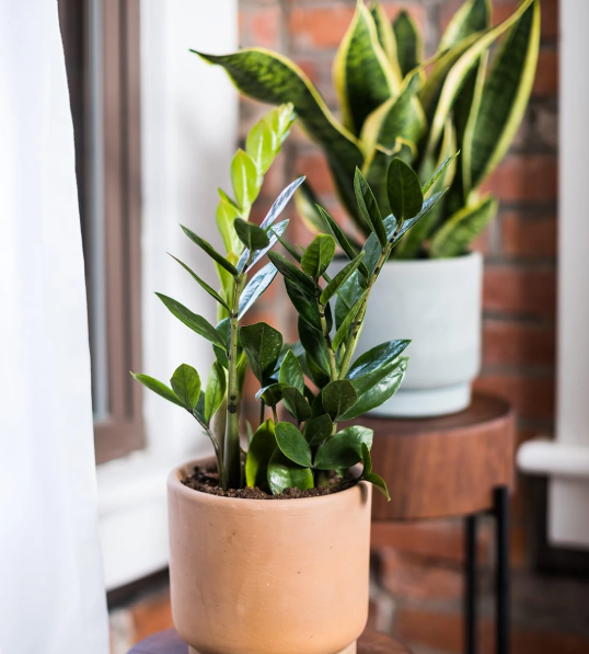 zz plant for room